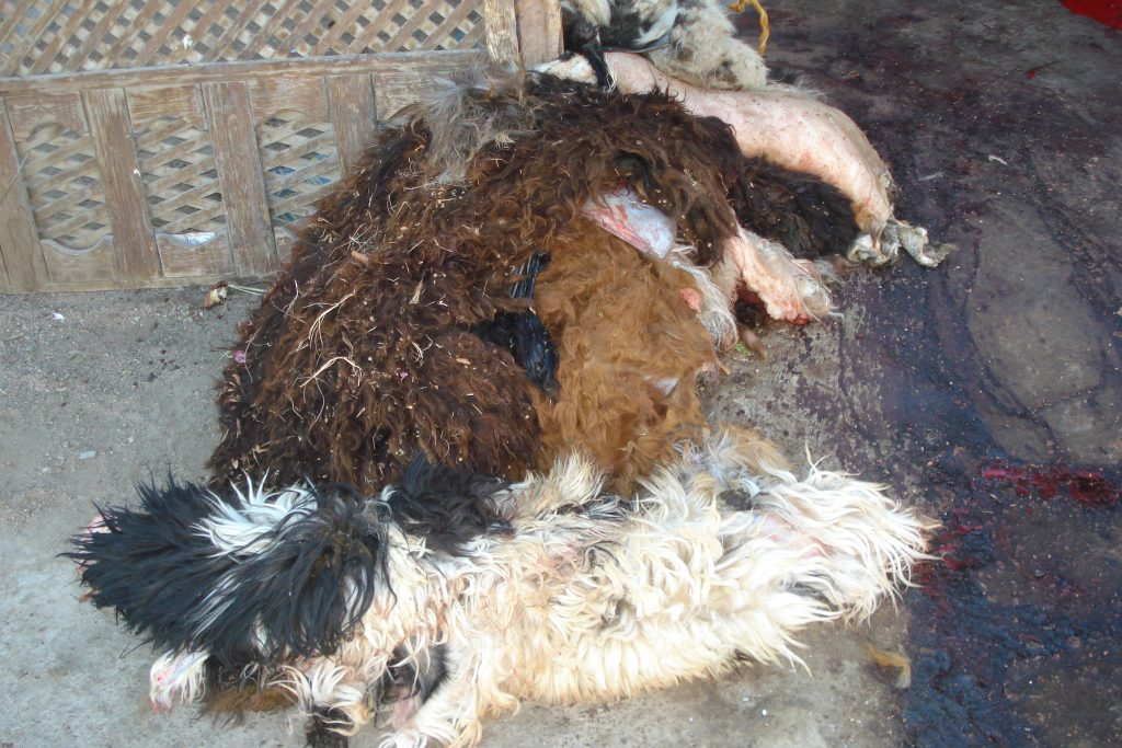 For holiday Eid al Adha sheep and goats are killed. Here are some of their skins lying on the ground at an outdoor butcher shop