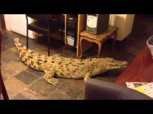 A crocodile walking on the floor in the living room of a home - This is not how Sukkot in Israel is